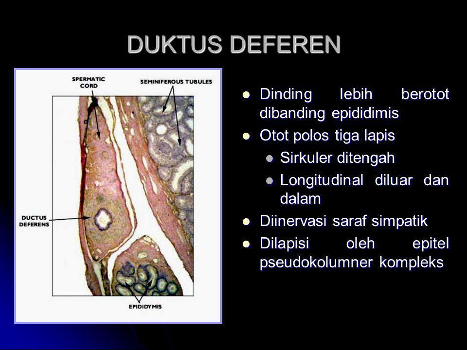 DUKTUS DEFEREN Dinding lebih berotot dibanding epididimis