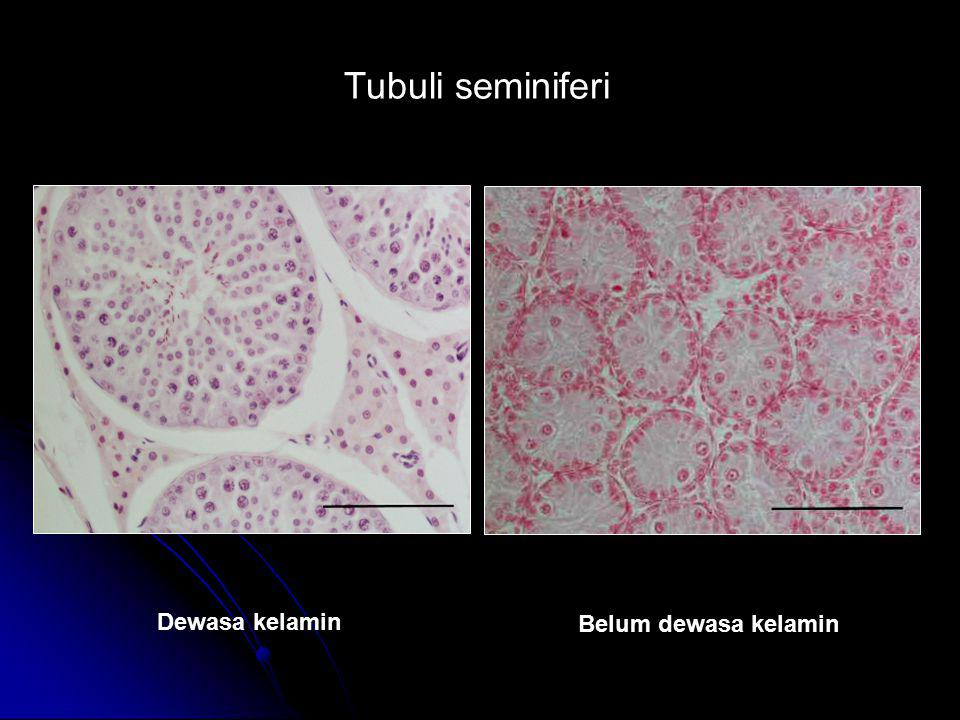 Tubuli seminiferi Dewasa kelamin Belum dewasa kelamin