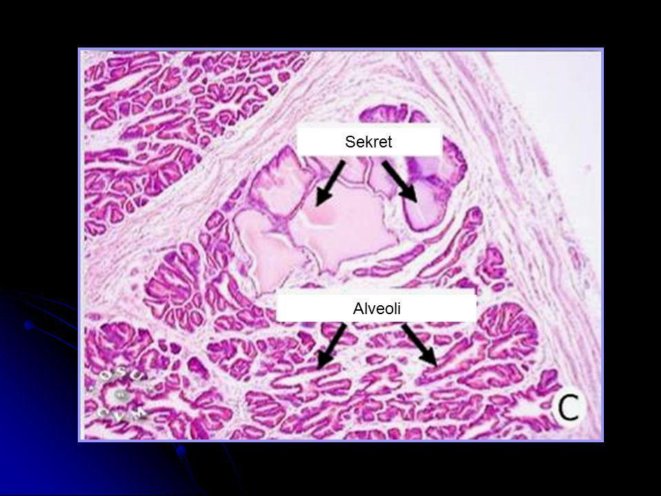 Sekret Alveoli