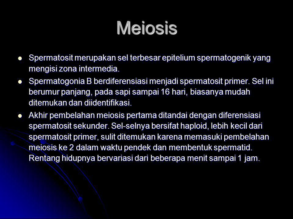 Meiosis Spermatosit merupakan sel terbesar epitelium spermatogenik yang mengisi zona intermedia.