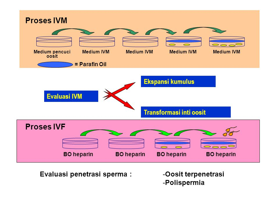Proses IVM Proses IVF Ekspansi kumulus Evaluasi IVM
