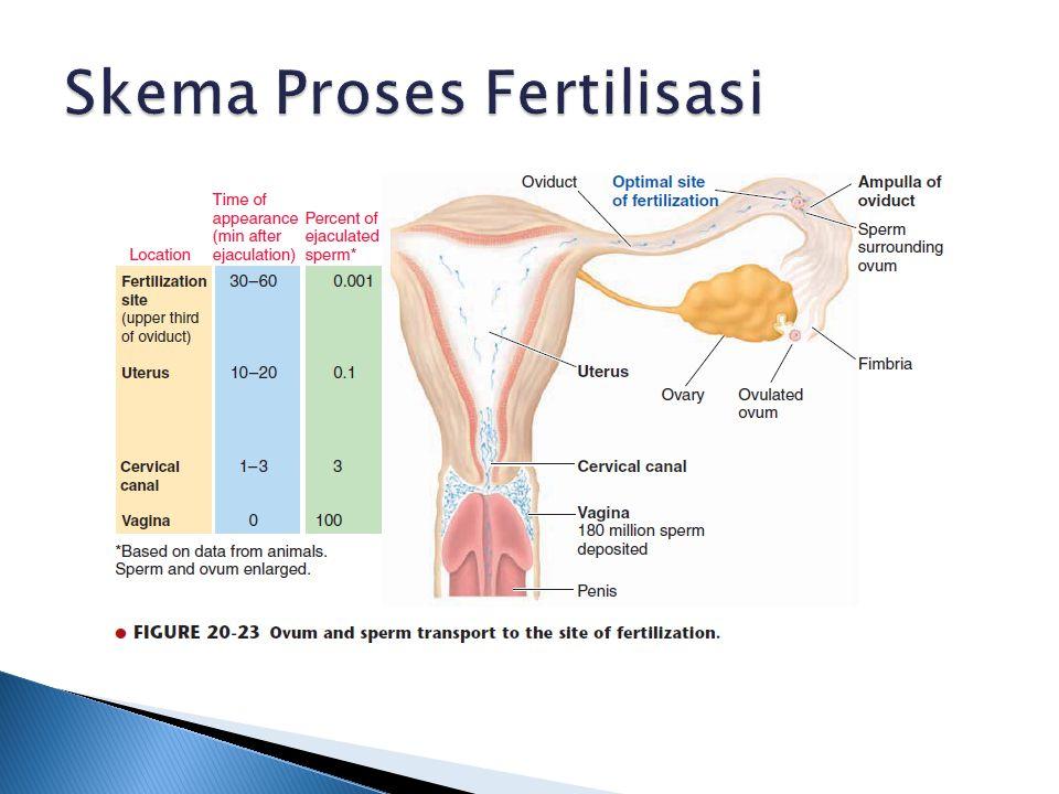 Skema Proses Fertilisasi