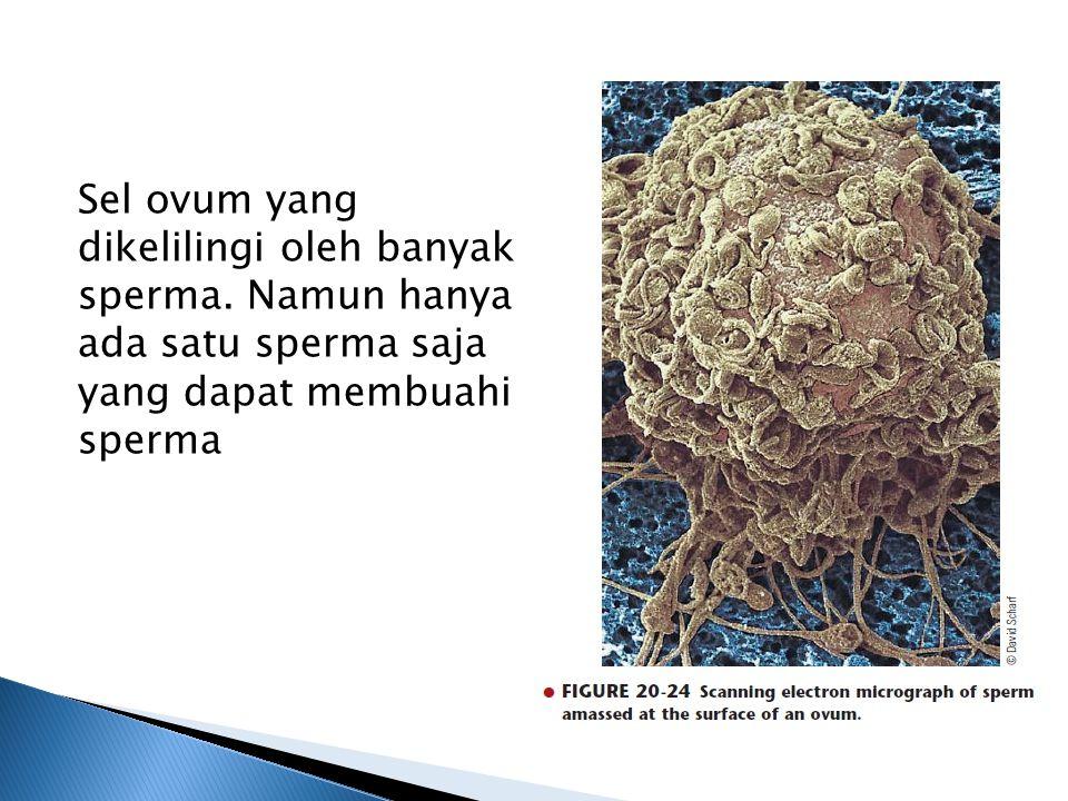 Sel ovum yang dikelilingi oleh banyak sperma