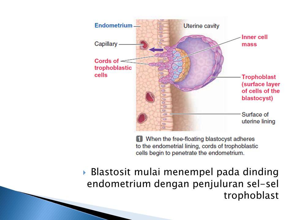 Blastosit mulai menempel pada dinding endometrium dengan penjuluran sel-sel trophoblast