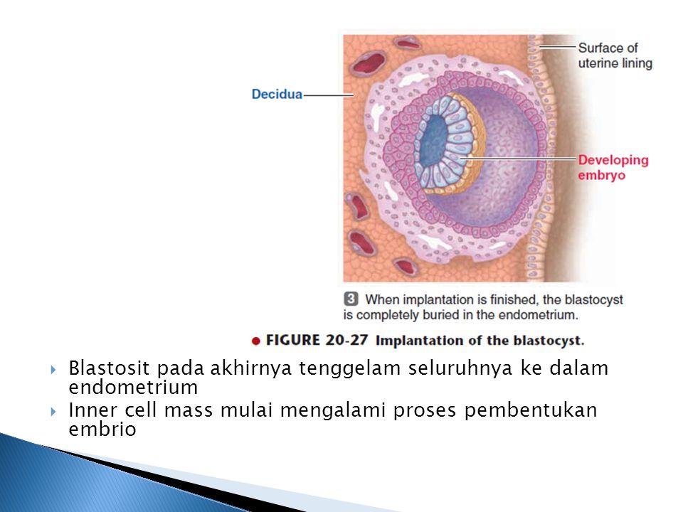 Blastosit pada akhirnya tenggelam seluruhnya ke dalam endometrium