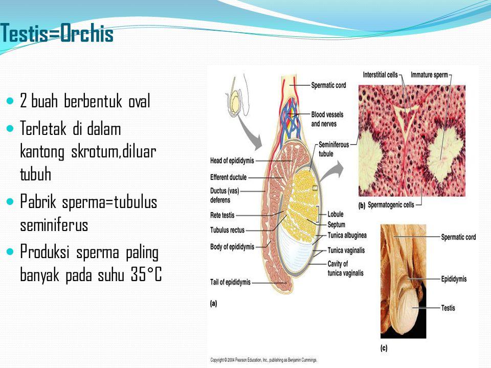 Testis=Orchis 2 buah berbentuk oval