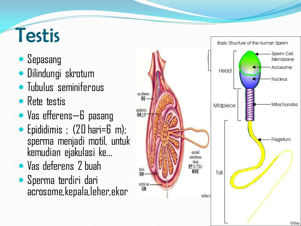 Testis Sepasang Dilindungi skrotum Tubulus seminiferous Rete testis