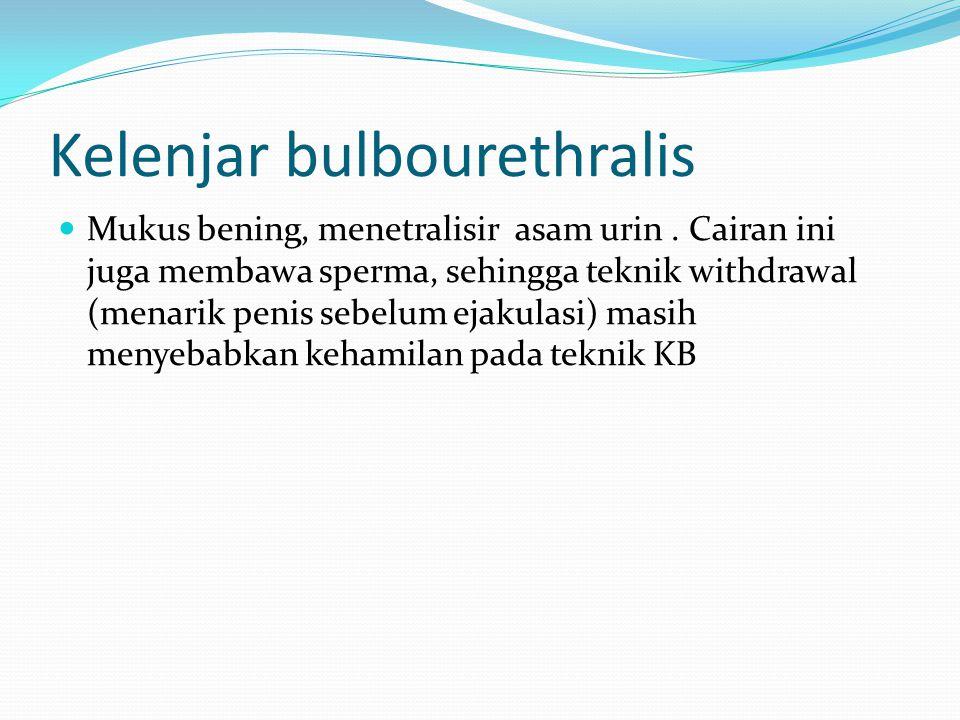 Kelenjar bulbourethralis