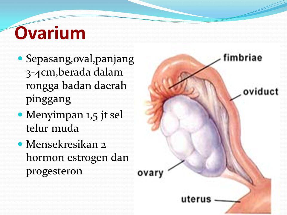 Ovarium Sepasang,oval,panjang 3-4cm,berada dalam rongga badan daerah pinggang. Menyimpan 1,5 jt sel telur muda.