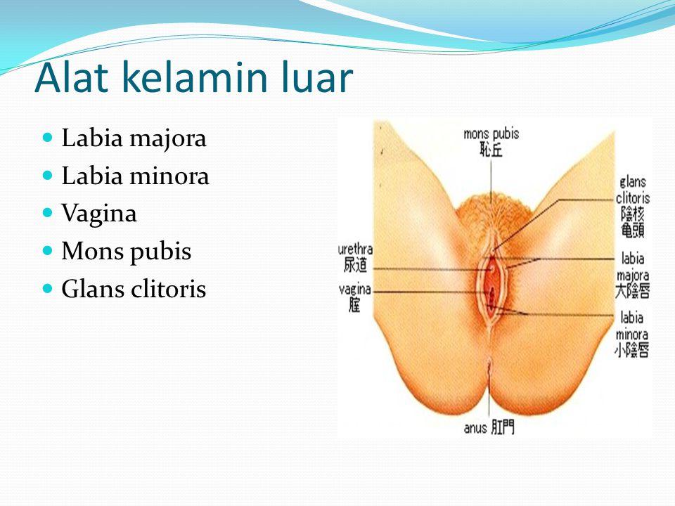 Alat kelamin luar Labia majora Labia minora Vagina Mons pubis