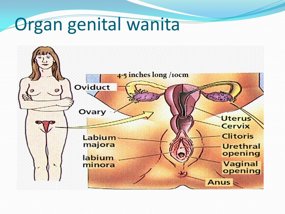 Organ genital wanita 4-5 inches long /10cm