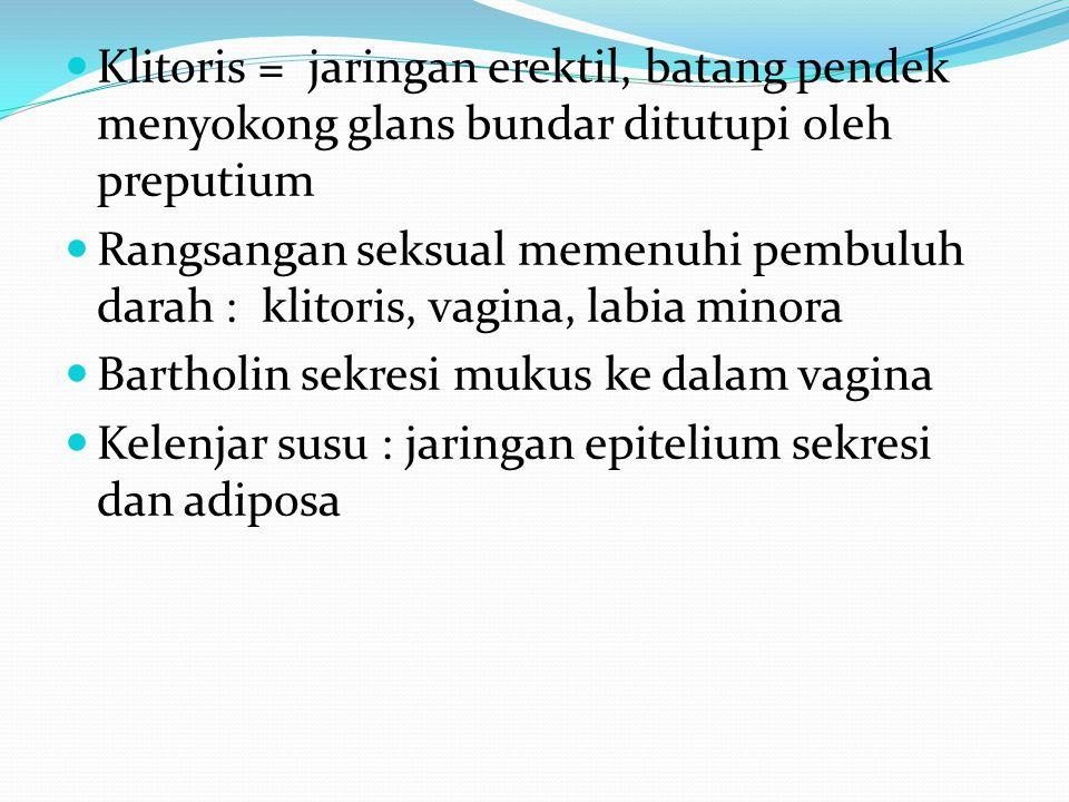 Klitoris = jaringan erektil, batang pendek menyokong glans bundar ditutupi oleh preputium