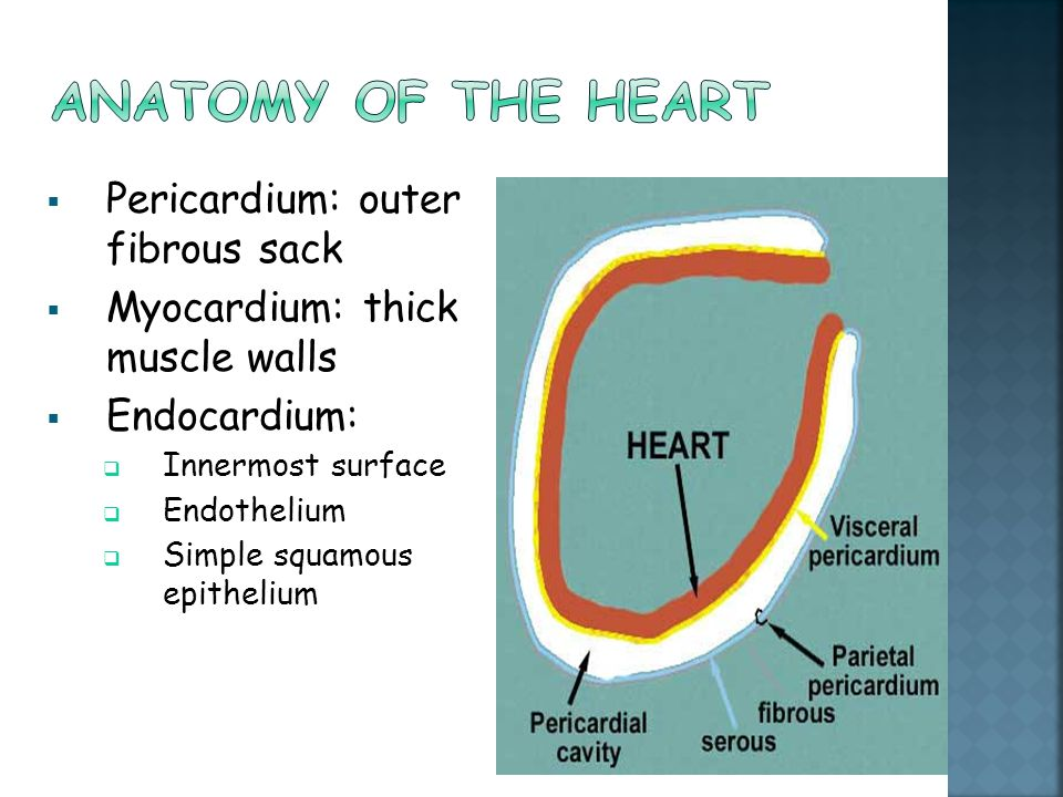 Anatomy of the heart Pericardium: outer fibrous sack