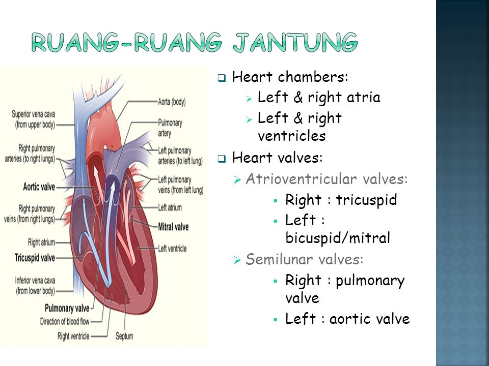 Ruang-ruang jantung Heart chambers: Left & right atria