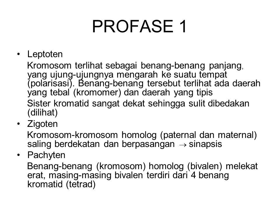 PROFASE 1 Leptoten.
