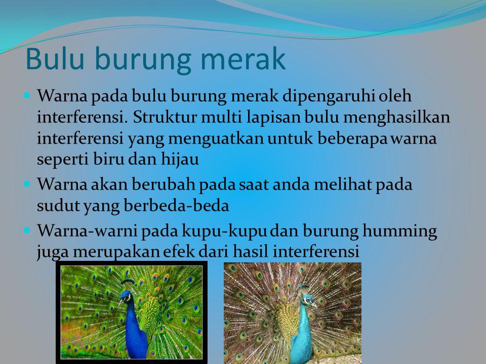 Bulu burung merak