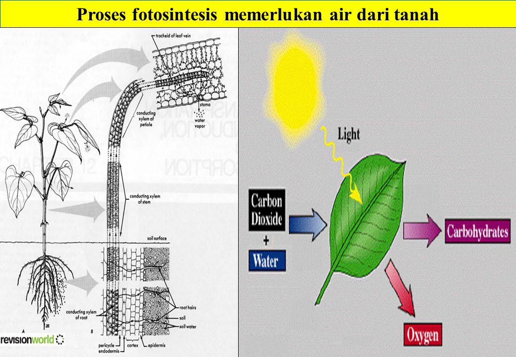 Proses fotosintesis memerlukan air dari tanah