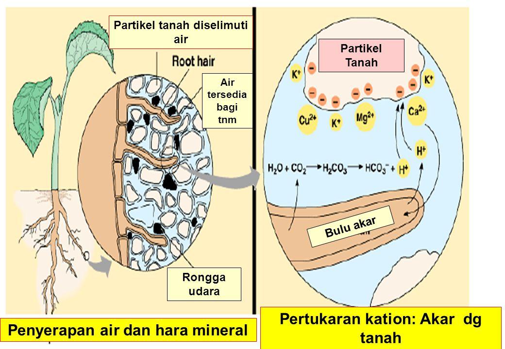 Pertukaran kation: Akar dg tanah Penyerapan air dan hara mineral
