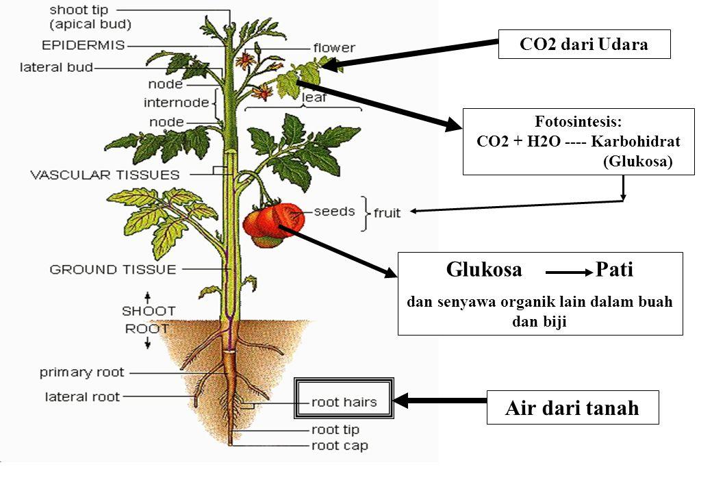 Glukosa Pati Air dari tanah