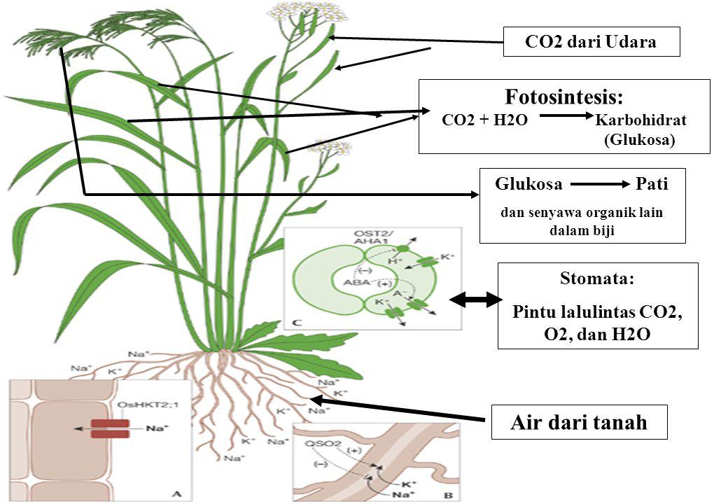 dan senyawa organik lain dalam biji Pintu lalulintas CO2, O2, dan H2O