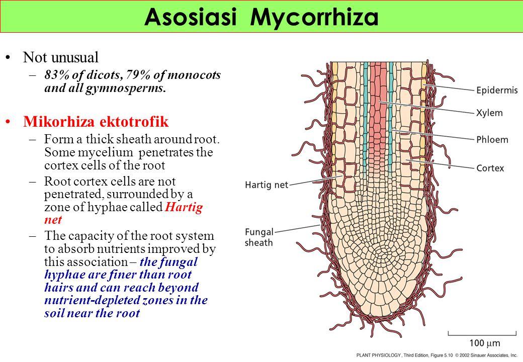 Asosiasi Mycorrhiza Not unusual Mikorhiza ektotrofik