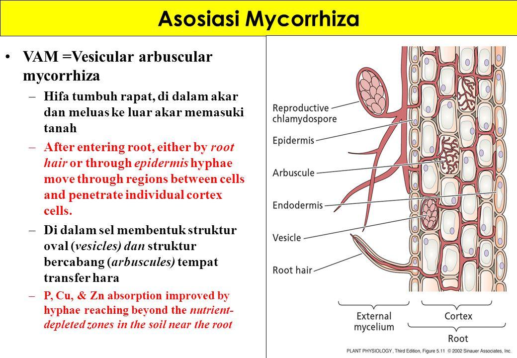 Asosiasi Mycorrhiza VAM =Vesicular arbuscular mycorrhiza