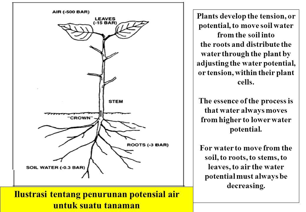 Ilustrasi tentang penurunan potensial air untuk suatu tanaman