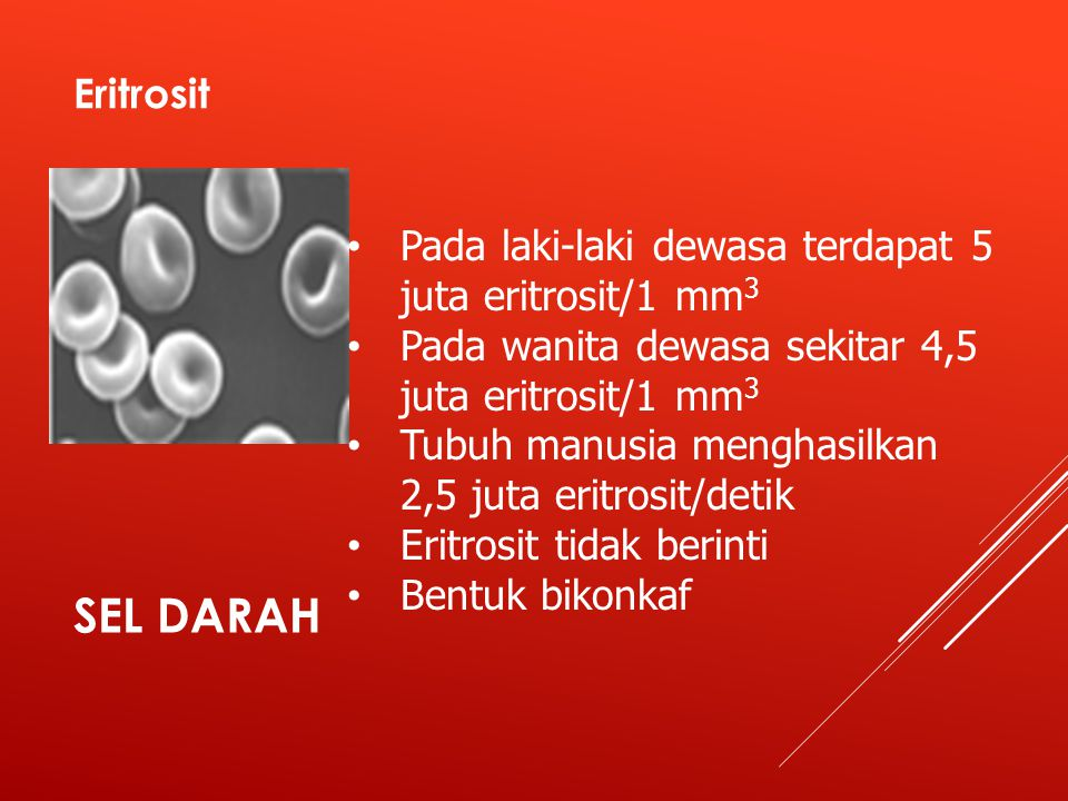 Eritrosit Pada laki-laki dewasa terdapat 5 juta eritrosit/1 mm3. Pada wanita dewasa sekitar 4,5 juta eritrosit/1 mm3.