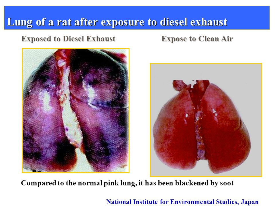 Lung of a rat after exposure to diesel exhaust