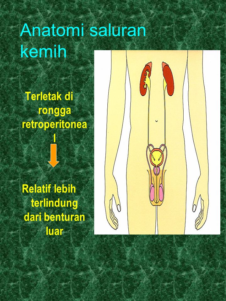 Anatomi saluran kemih Terletak di rongga retroperitoneal