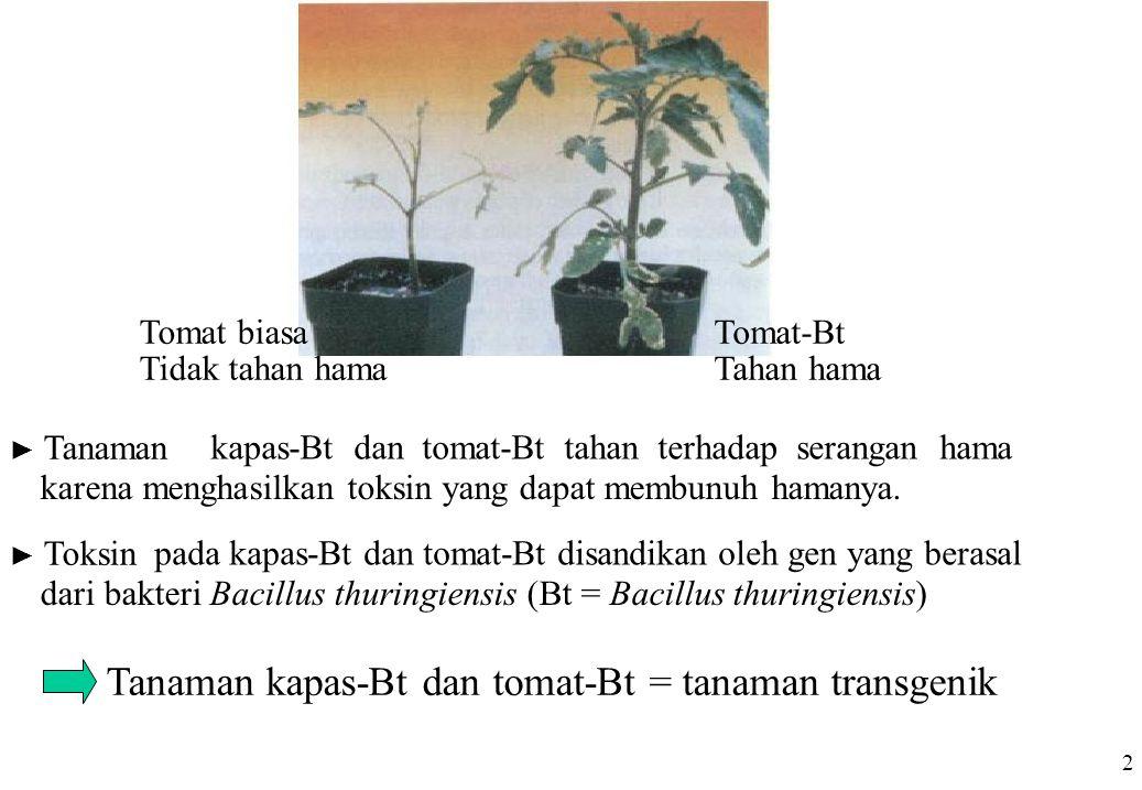 Tanaman kapas-Bt dan tomat-Bt = tanaman transgenik 2