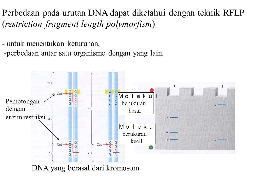 Perbedaan pada urutan DNA dapat diketahui dengan teknik RFLP