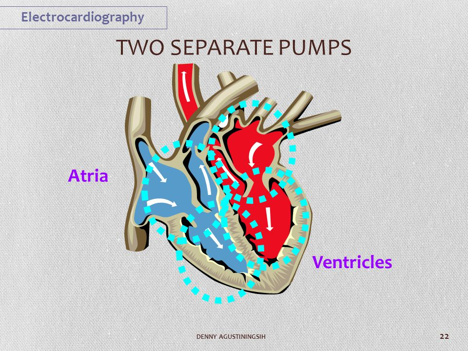TWO SEPARATE PUMPS Atria Ventricles Electrocardiography