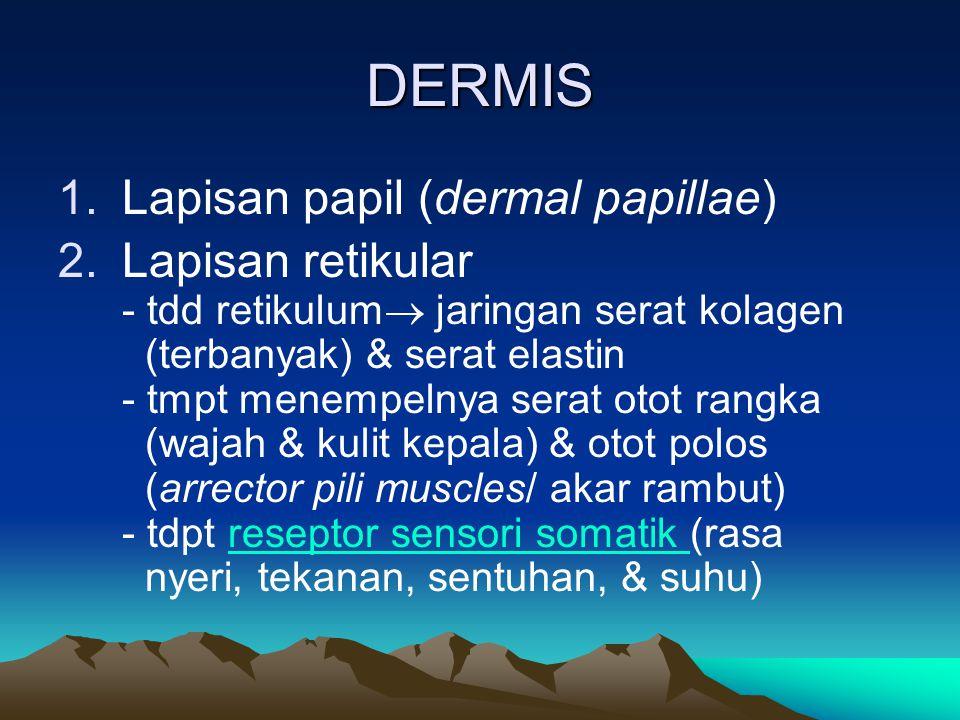 DERMIS Lapisan papil (dermal papillae)