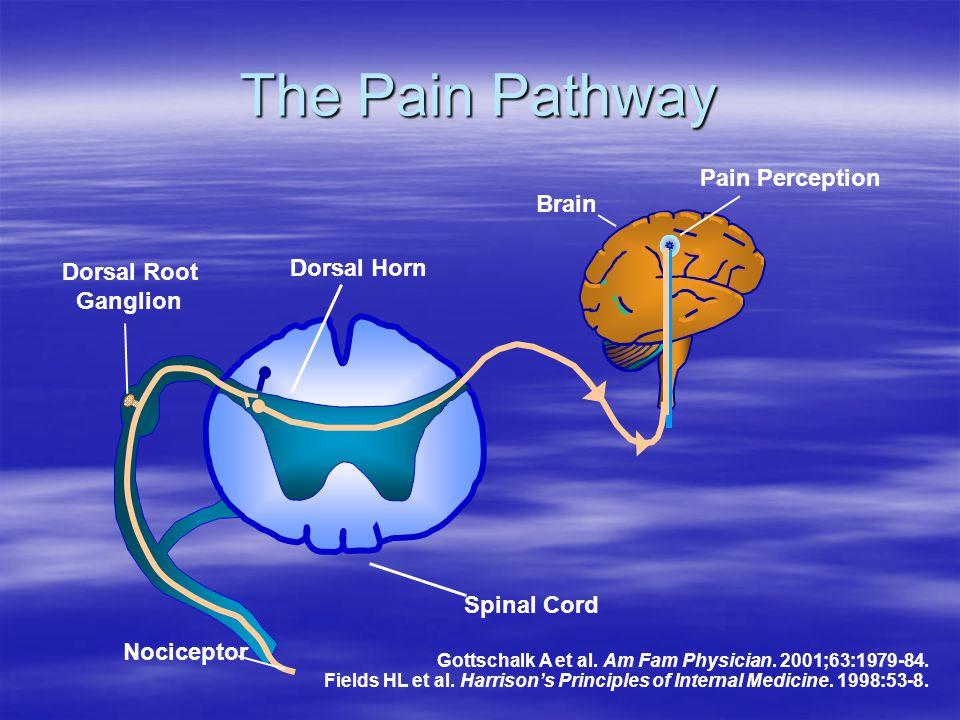 The Pain Pathway Pain Perception Brain Dorsal Horn Dorsal Root
