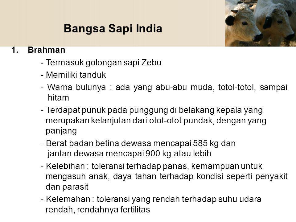 Bangsa Sapi India Brahman - Termasuk golongan sapi Zebu