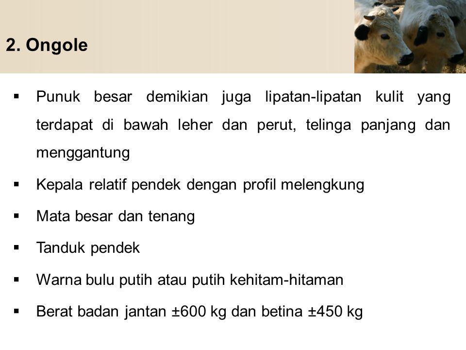 2. Ongole Punuk besar demikian juga lipatan-lipatan kulit yang terdapat di bawah leher dan perut, telinga panjang dan menggantung.