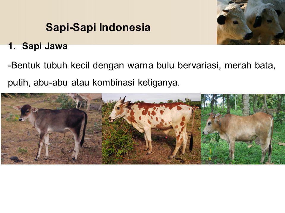 Sapi-Sapi Indonesia Sapi Jawa