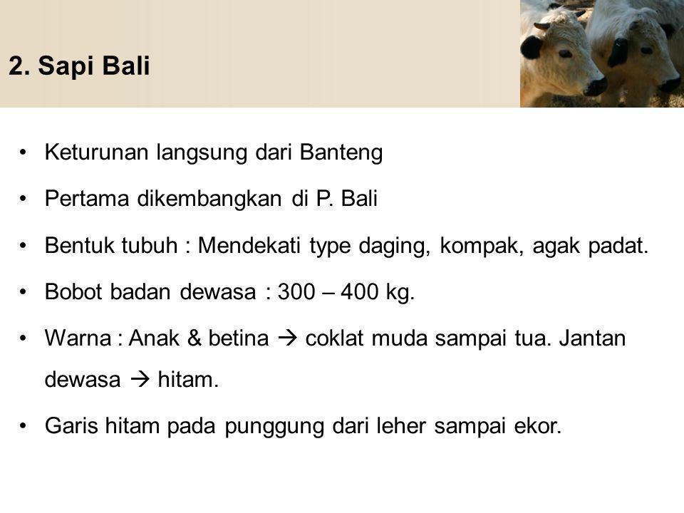 2. Sapi Bali Keturunan langsung dari Banteng