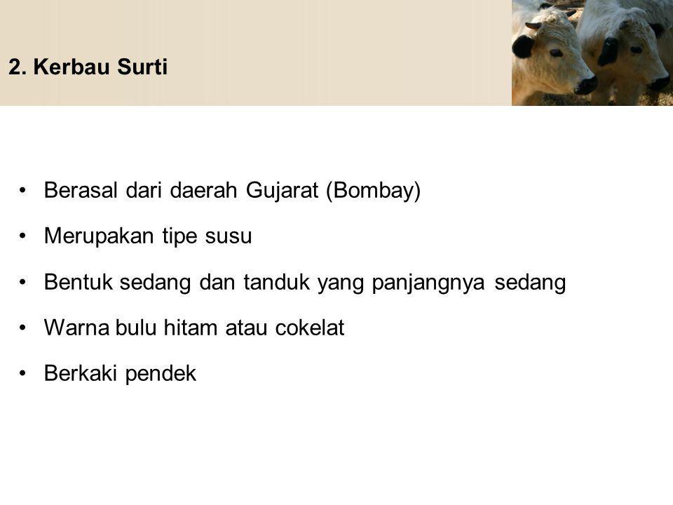 2. Kerbau Surti Berasal dari daerah Gujarat (Bombay) Merupakan tipe susu. Bentuk sedang dan tanduk yang panjangnya sedang.