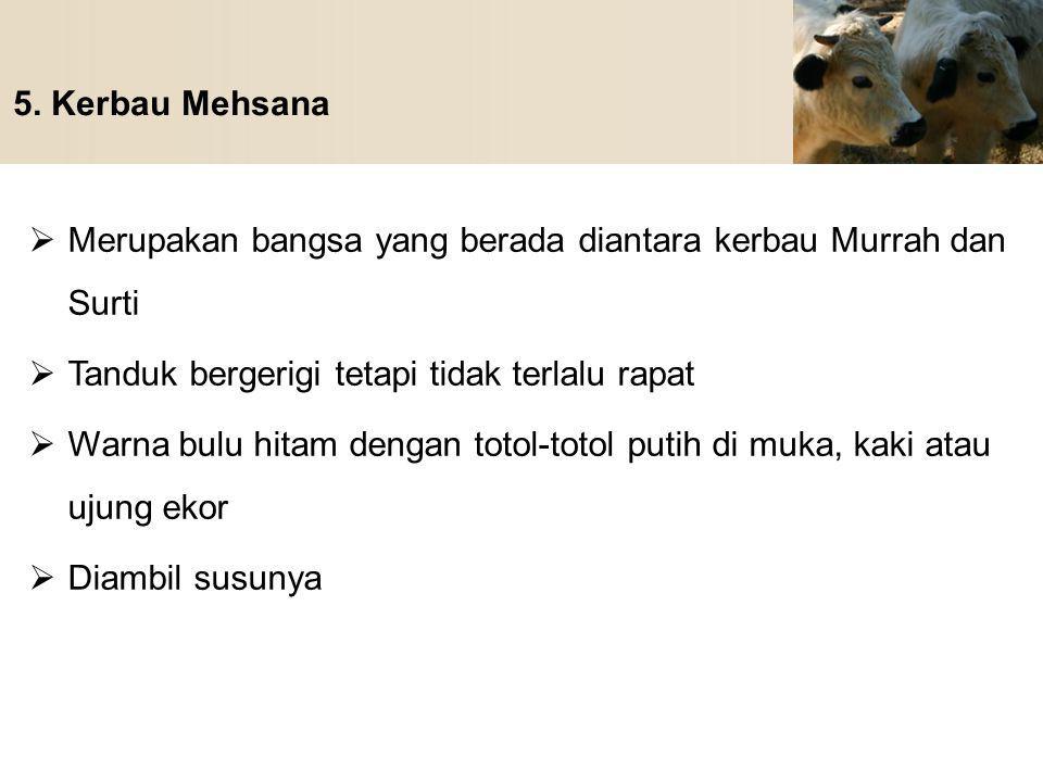 5. Kerbau Mehsana Merupakan bangsa yang berada diantara kerbau Murrah dan Surti. Tanduk bergerigi tetapi tidak terlalu rapat.