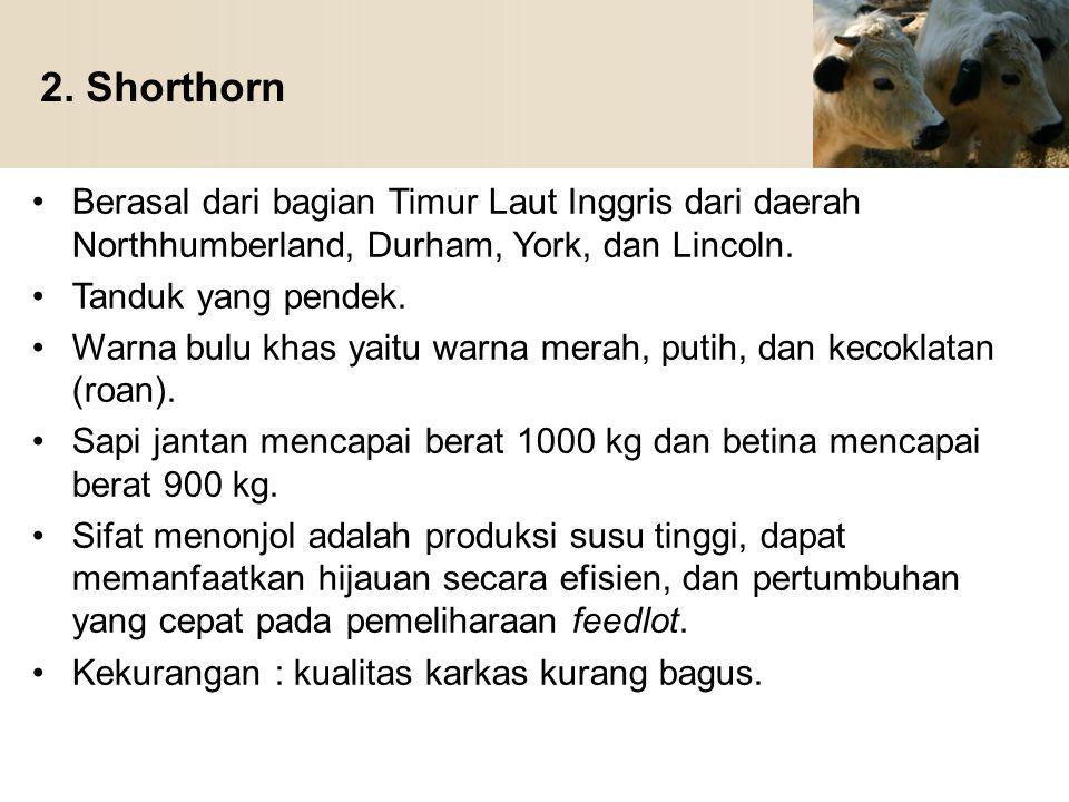 2. Shorthorn Berasal dari bagian Timur Laut Inggris dari daerah Northhumberland, Durham, York, dan Lincoln.