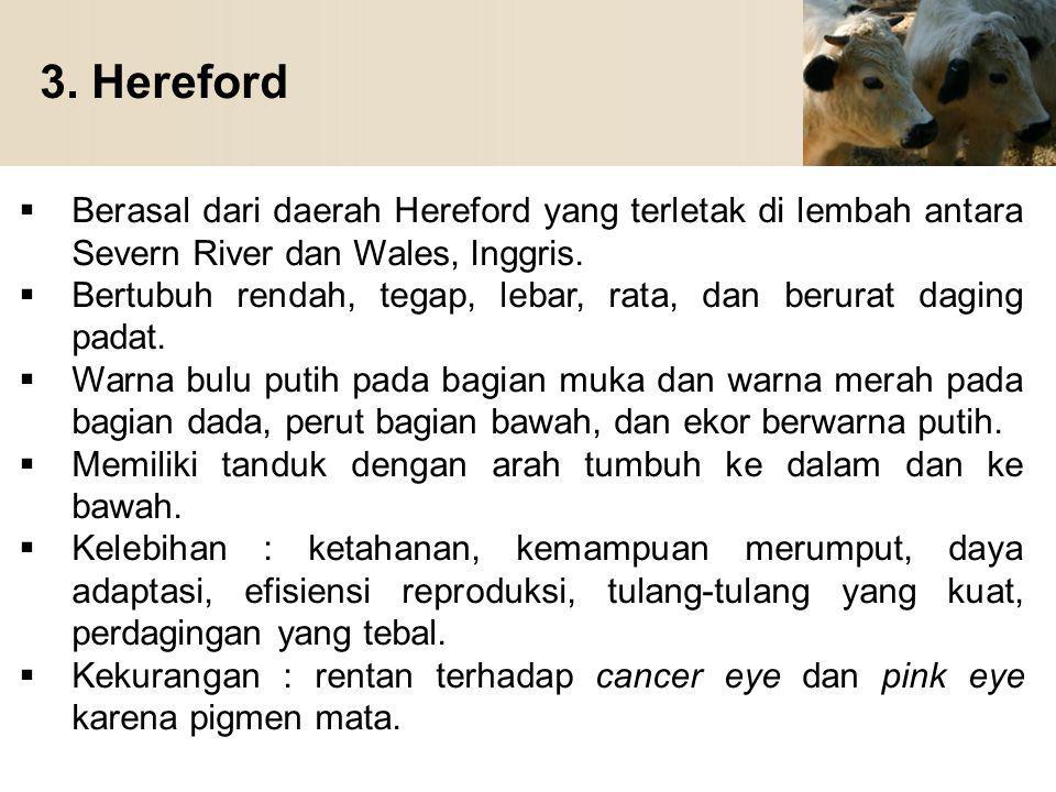 3. Hereford Berasal dari daerah Hereford yang terletak di lembah antara Severn River dan Wales, Inggris.