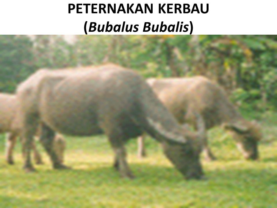 PETERNAKAN KERBAU (Bubalus Bubalis)