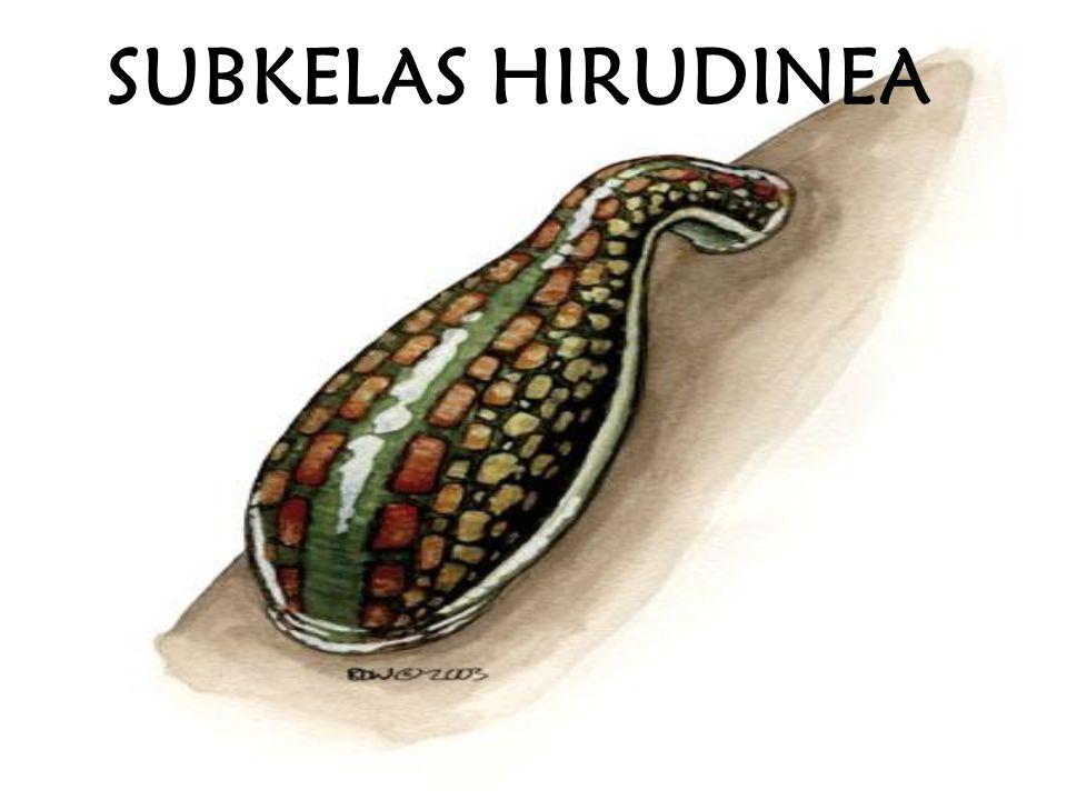 SUBKELAS HIRUDINEA
