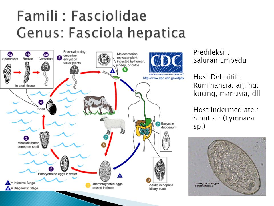 Famili : Fasciolidae Genus: Fasciola hepatica