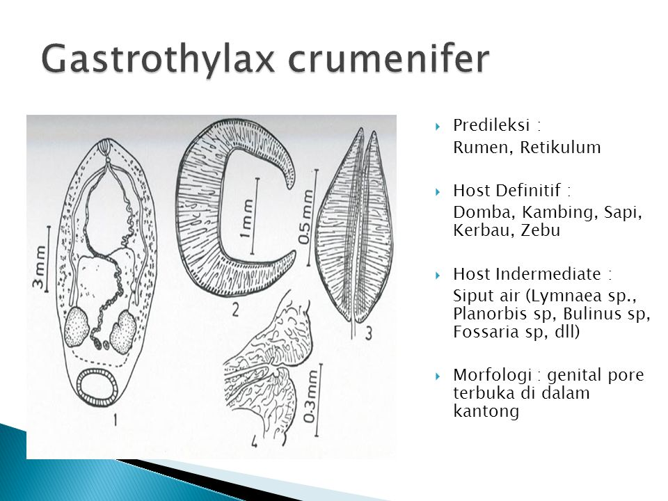 Gastrothylax crumenifer