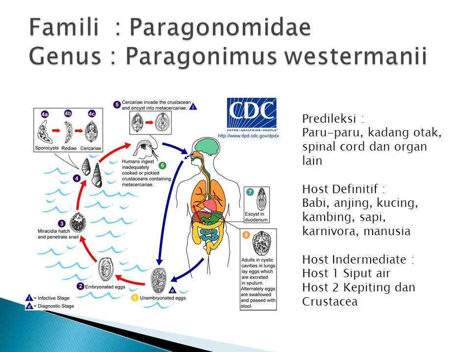 Famili : Paragonomidae Genus : Paragonimus westermanii