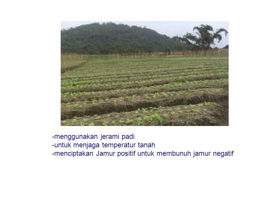 -menggunakan jerami padi