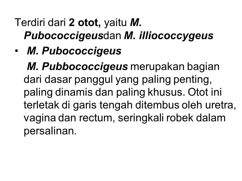 Terdiri dari 2 otot, yaitu M. Pubococcigeusdan M. illiococcygeus